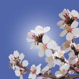 Niederlassung von blühende Mandeln auf einem Hintergrundhimmel lizenzfreie abbildung