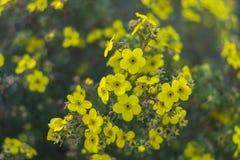 Niederlassung von blühenden gelben Blumen auf einem Grün verwischte Hintergrund Stockfoto