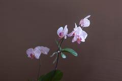 Niederlassung von blühenden Orchideen der zarten lila Farbe auf dem braunen Hintergrund Stockfotos