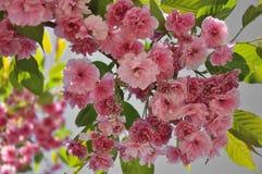 Niederlassung von blühender Kirschblüte Lizenzfreie Stockfotos