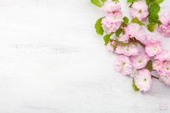 Niederlassung von Blüte Mandel Prunus triloba auf weißem Holztisch Stockbilder