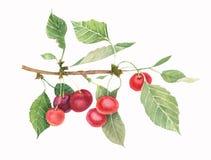 Niederlassung von cerry mit Grünblättern und -beeren lizenzfreies stockfoto