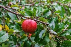 Niederlassung von den Apfelbäumen, die unter das Gewicht der Frucht verbiegen Herbstobstgarten lizenzfreie stockfotografie