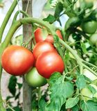 Niederlassung von den frischen rosa reifenden Tomaten Lizenzfreie Stockfotos