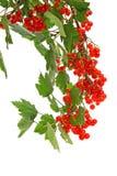 Niederlassung von den roten Johannisbeeren lokalisiert auf Weiß Lizenzfreies Stockbild