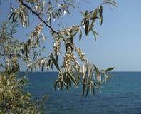Niederlassung von Elaeagnus multiflora mit Früchten Lizenzfreies Stockbild