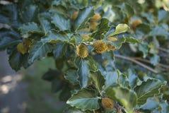 Niederlassung von Fagus sylvatica Baum stockfoto