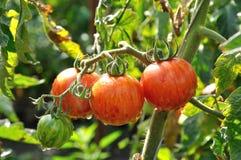 Niederlassung von gestreiften Tomaten stockfotografie
