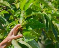 Niederlassung von grünen Persimonen auf dem Baum in den Blättern Stockfotografie
