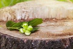 Niederlassung von grünen unausgereiften Haselnüssen auf dem Baumstumpf stockfoto