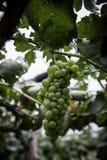 Niederlassung von gree Trauben auf Rebe im Weinberg Stockfoto