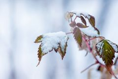 Niederlassung von Himbeeren mit trockenen Blättern, umfasst mit Schnee Winter stockfotografie