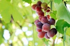 Niederlassung von köstlichen roten Trauben, Weinkonzept Lizenzfreie Stockfotos