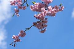 Niederlassung von Kirschblüte oder Kirschblüte auf blauem Himmel im Park lizenzfreie stockfotografie