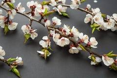 Niederlassung von Kirschblüten auf einem schwarzen Hintergrund Frühlings- und Ostern-Konzept Karte mit Frühlingsblüte Stockbilder