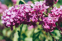 Niederlassung von lila Blumen mit den Blättern und der kleinen Biene Stockbild