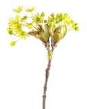 Niederlassung von Norwegen-Ahorn mit den Blumen lokalisiert auf weißem Hintergrund Stockbilder
