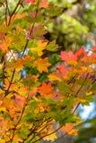 Niederlassung von orange und rosa Ahornblättern lizenzfreie stockfotografie