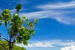 Niederlassung von Plumeria-Bäumen gegen Crystal Blue Sunny Sky Stockfotografie