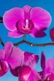 Niederlassung von purpurroten Orchideenblumen Stockbilder