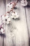 Niederlassung von reifen Baumwollkapseln Stockbild