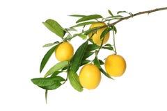 Niederlassung von saftigen Zitronen mit den Blättern lokalisiert auf weißem Hintergrund Lizenzfreie Stockfotografie