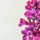 Niederlassung von schönen Blumen der lila Nahaufnahme auf grauem Hintergrund Stockfotos