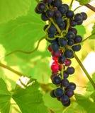 Niederlassung von schwarzen und roten Trauben auf einem Busch Lizenzfreies Stockbild