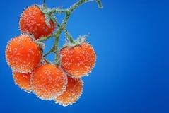 Niederlassung von Tomaten im blauen Wasser Lizenzfreies Stockfoto