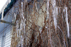 Niederlassung von Trauben in den Eiszapfen Stockfotos