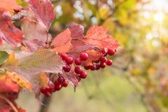 Niederlassung von Viburnumbeeren im Garten Lizenzfreies Stockbild