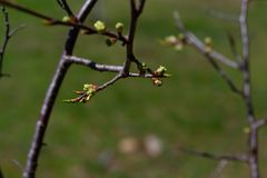 Niederlassung von wachsenden neuen Blättern eines Apfelbaums stockbilder
