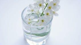 Niederlassung von weißen Blumen der Pflaume und der Aprikose stock video footage