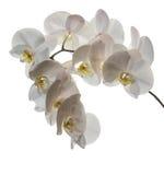 Niederlassung von weißen Orchideen auf einem weißen Hintergrund Stockfotografie