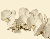 Niederlassung von weißen Orchideen auf einem weißen Hintergrund Lizenzfreies Stockbild