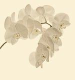 Niederlassung von weißen Orchideen auf einem weißen Hintergrund Stockbild
