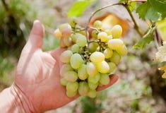 Niederlassung von weißen Trauben in der Hand lizenzfreies stockfoto