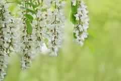 Niederlassung von weißen Akazienblumen auf Grün Stockfotos