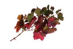 Niederlassung von Weinstöcken im Herbst mit bunten Blättern Stockbild