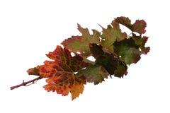 Niederlassung von Weinstöcken im Herbst mit bunten Blättern Lizenzfreie Stockbilder
