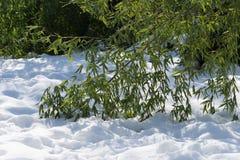 Niederlassungen beugten den Bambus, der auf dem weißen Schnee liegt Lizenzfreies Stockfoto
