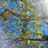 Niederlassungen, Blätter auf einem Hintergrund des blauen Himmels und Sonnenschein Lizenzfreie Stockfotos