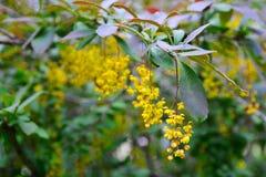 Niederlassungen der Berberitzenbeere mit gelben hellen Blumen Lizenzfreie Stockfotos