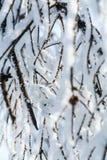 Niederlassungen der Birke im Schnee im Winter Stockfoto