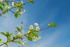 Niederlassungen der blühenden Kirsche Stockfotografie