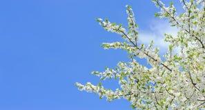 Niederlassungen der blühenden Kirsche auf Hintergrund des blauen Himmels Lizenzfreie Stockfotografie