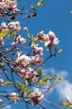 Niederlassungen der blühenden Magnolie über blauem Himmel Lizenzfreie Stockbilder