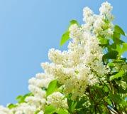 Niederlassungen der blühenden weißen Flieder gegen blauen Himmel Stockbilder