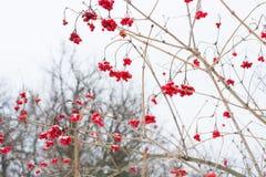 Niederlassungen der Eberesche am eisigen Tag des Schneefreien raumes Weiße Schneeflocken auf einem blauen Hintergrund Der Wald gi Lizenzfreies Stockfoto