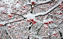 Niederlassungen der Eberesche im Schnee Lizenzfreies Stockbild
